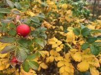 奥出雲薔薇園で育てているハマナスの実