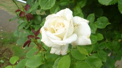 酸化した白バラ