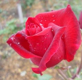 奥出雲薔薇園のさ姫